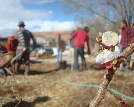 A beautiful apricot blossoms in its new home while swale builders carry on in the background. Once the tree is in the ground, we put one layer of cardboard, a thick layer of straw, and an even thicker layer of woodchip/leaf mulch. Then we top it with a hefty sprink of composted chicken or sheep manure that will seep through and feed the tree with regular watering and rain.
